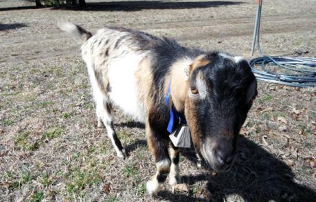 abraham-the-goat